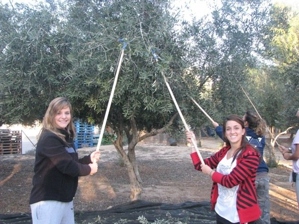 "Olive ""picking"" (ie whacking trees with sticks until the olives fall)"